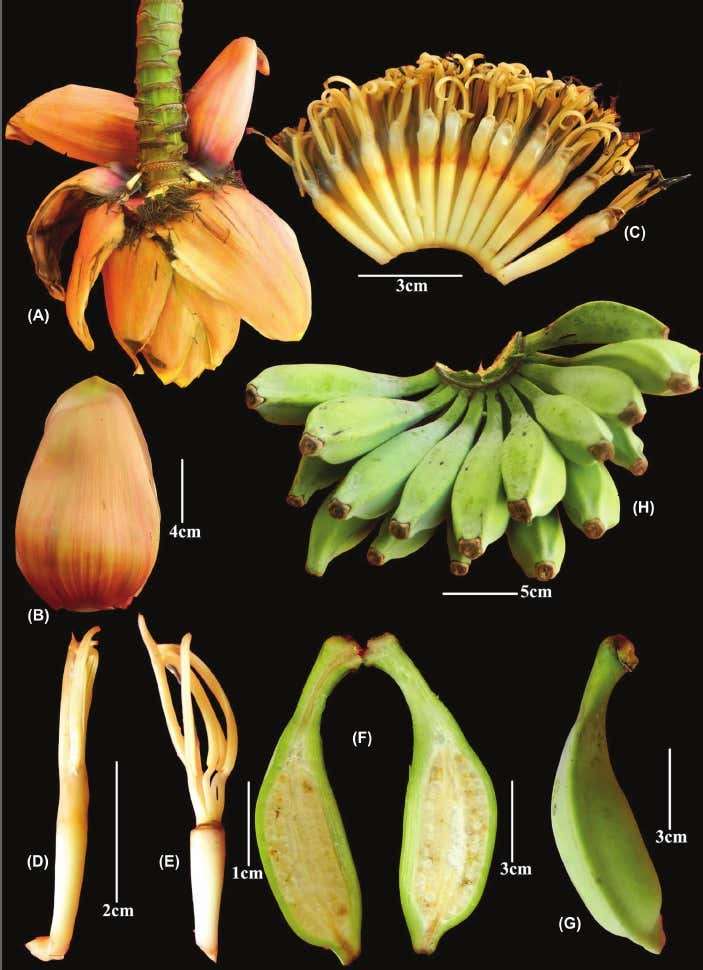 A new wild banana from northeast India