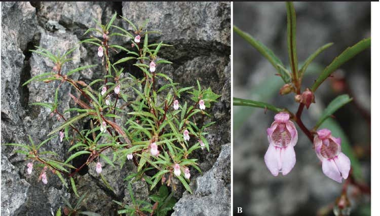 A new species of Impatiens (Balsaminaceae) from Southwestern Thailand